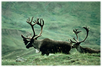 Reindeer (caribou) live on the tundra and in boreal forests and are known to migrate up to 3,000 miles a year